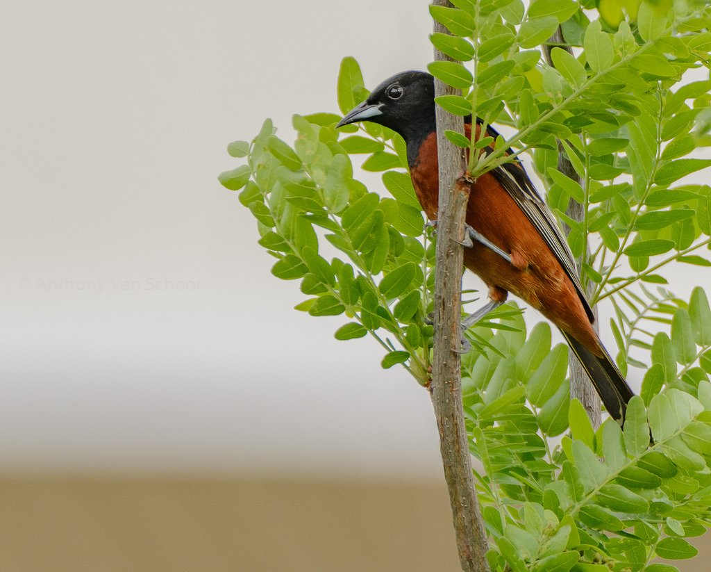 An Orchard Oriole in Howard Co., Maryland (5/1/2017). Photo by Anthony VanSchoor. bit.ly/2QH4XRF