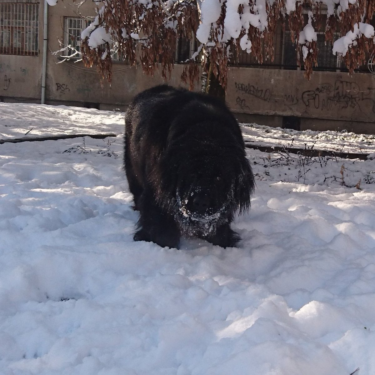 Snow fun   #fairytale #newfoundland #dogs #pet #puppy #newfie #cute #beautiful #dogsoftwitter #puppylove #friend #dogsofinstagram #instadog #bestfriend #love #snow #winter #winteriscoming<br>http://pic.twitter.com/mDAm9BlxO8