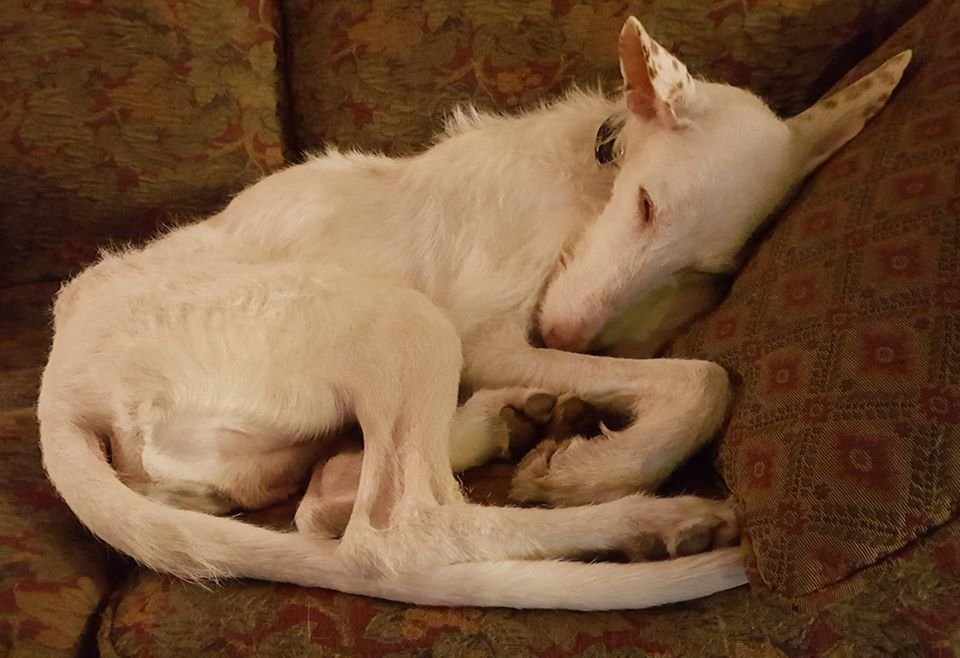 @corinne_jess Juanito is a 10YO Podenco. And he needs a home.