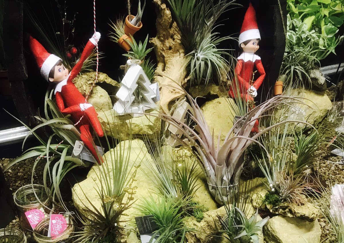 Polhillgardencentre V Twitter Ralphie And Poinsettia Have Been Hiding In Amongst The Air Plants They Are Looking Forward To Watching All The Boys And Girls Visiting Santa In His Grotto Today Polhill