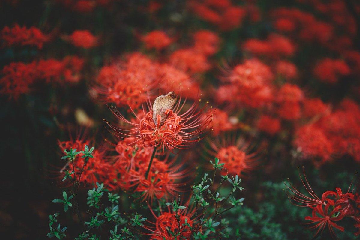 ผลการค้นหารูปภาพสำหรับ ดอกฮิกันบานะ gif