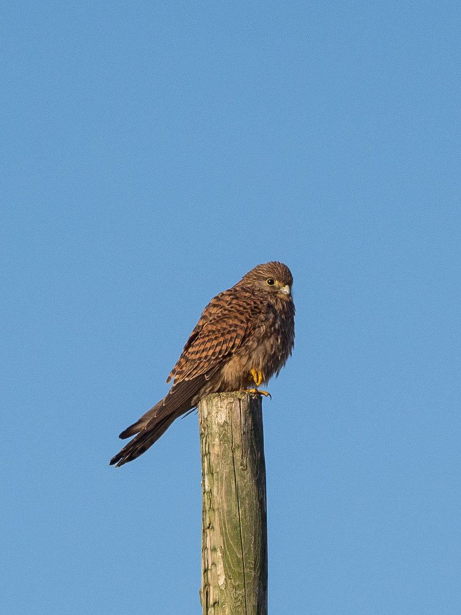 Issy Bryony Hardman On Twitter Was Enjoying Watching A Kestrel SouthWalney This Lunchtime It Then Flew Off And Replaced By Second Bird