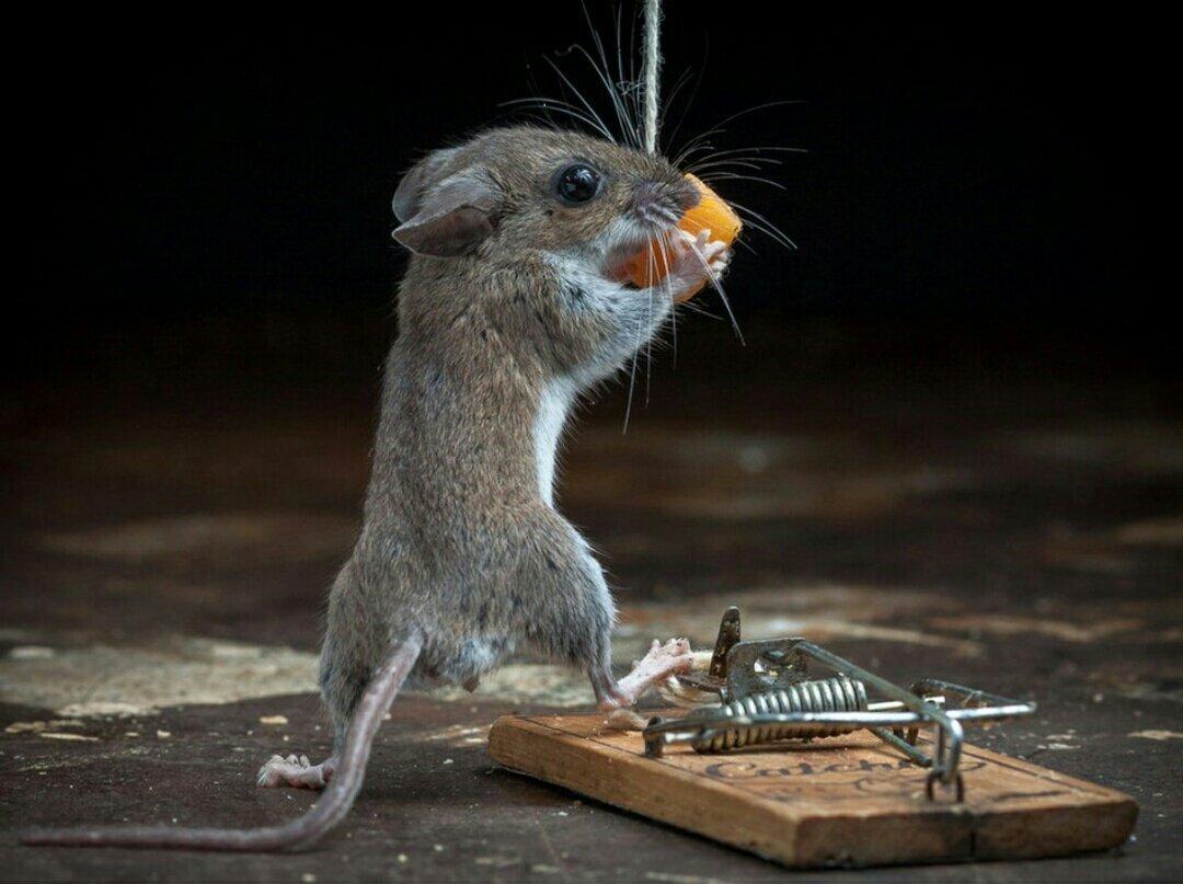картинка про крыс со смыслом изолента или надетая