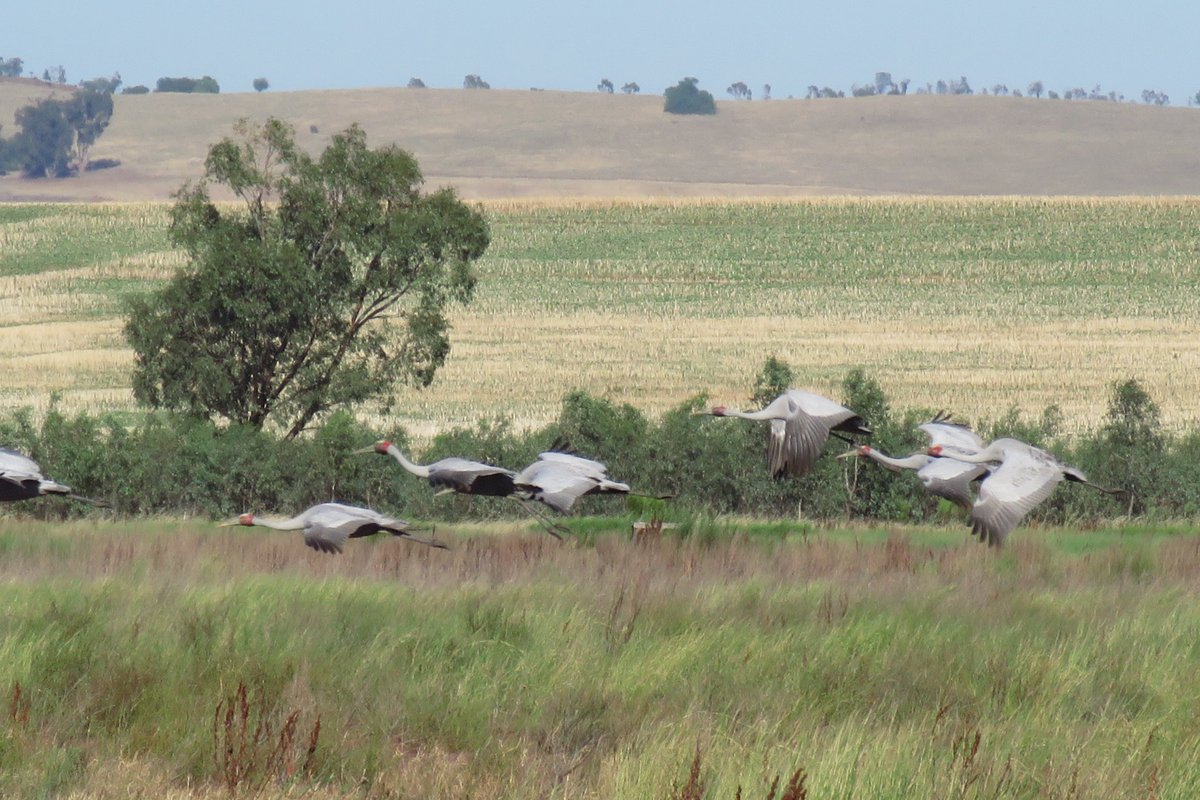 20 brolga, brown falcons, spoonbills, pied stilts & more spotted at Gaynor Swamp near Corop y'day. #waterfortheenvironment was delivered to the wetland for the 1st time in 2018 & the response has been amazing!