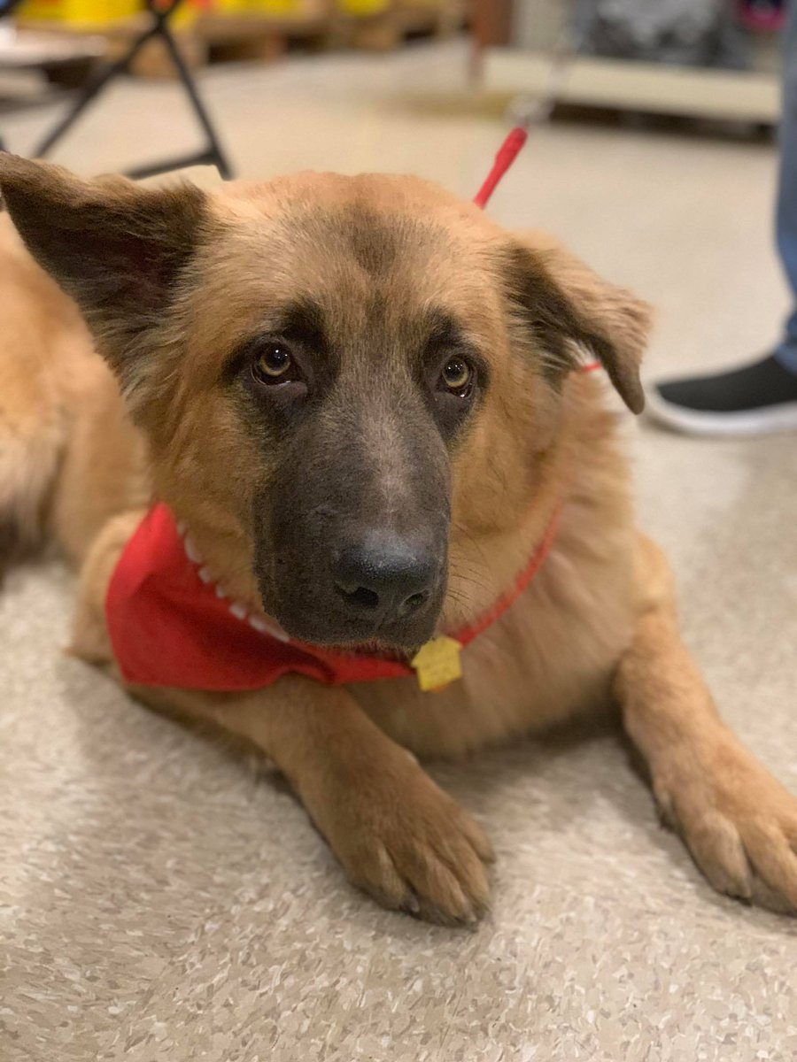 Spectrum News Albany On Twitter The German Shepherd Rescue Of Ny