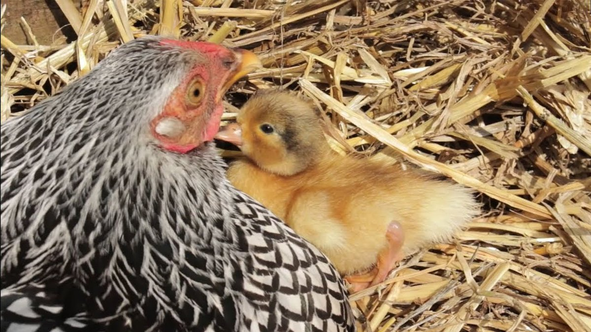 "Animal Odd Couples Youtube wow animals on twitter: ""the hen & the ducklings - animal"