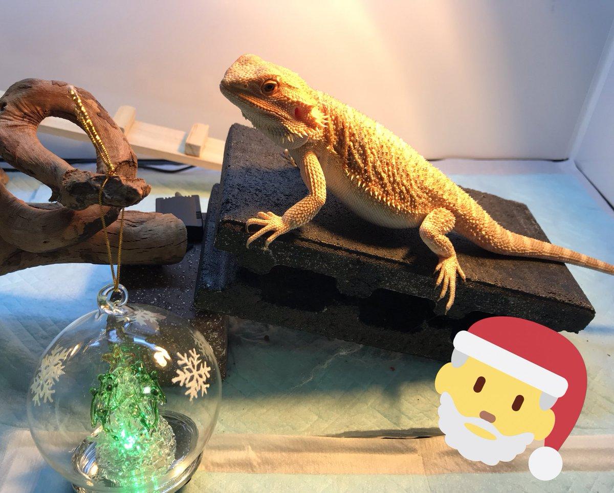 test ツイッターメディア - メリークリスマス イブ????  撮影時だけ、100均で購入したガラスLEDツリーを置かせてもらいました?? かわいいし、光るのに200円とか、凄すぎ!  皆さま、よいクリスマスをお過ごしくださいませ??  #フトアゴヒゲトカゲ #ダイソー https://t.co/zvonkQc1nR