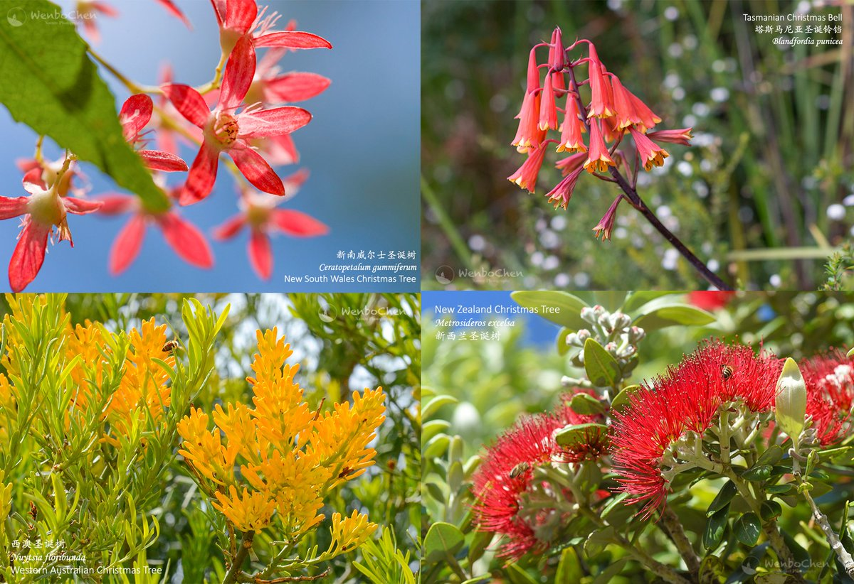 Wenbo Chen S Tweet The Southern Hemisphere Christmas Plants New