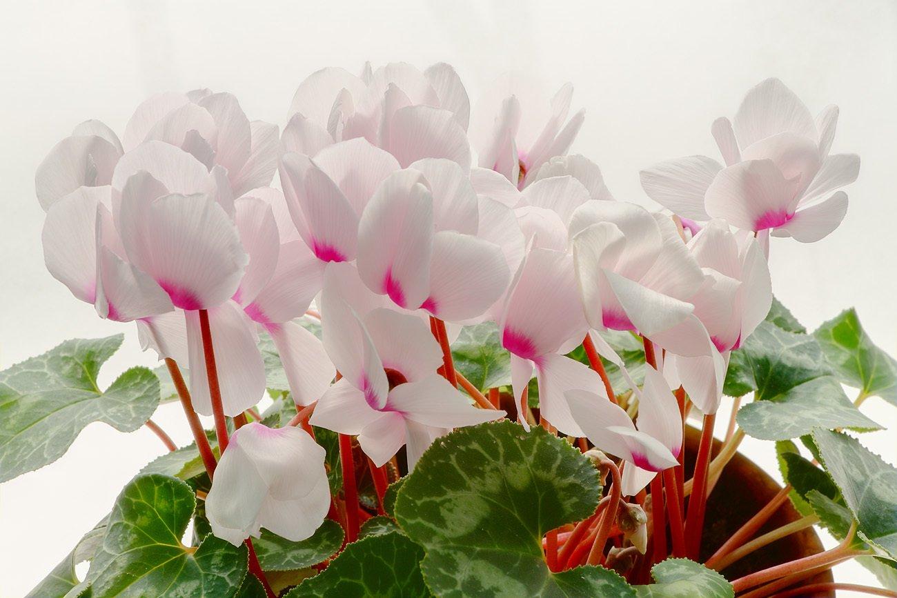 Как и когда цветет актинидия фото сообщается