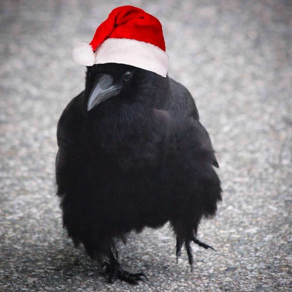 Best wishes to all for a very Merry Crowsmas and a wonderful 2019!  #crowtograph #santacaws <br>http://pic.twitter.com/Wmb5LDs3IL