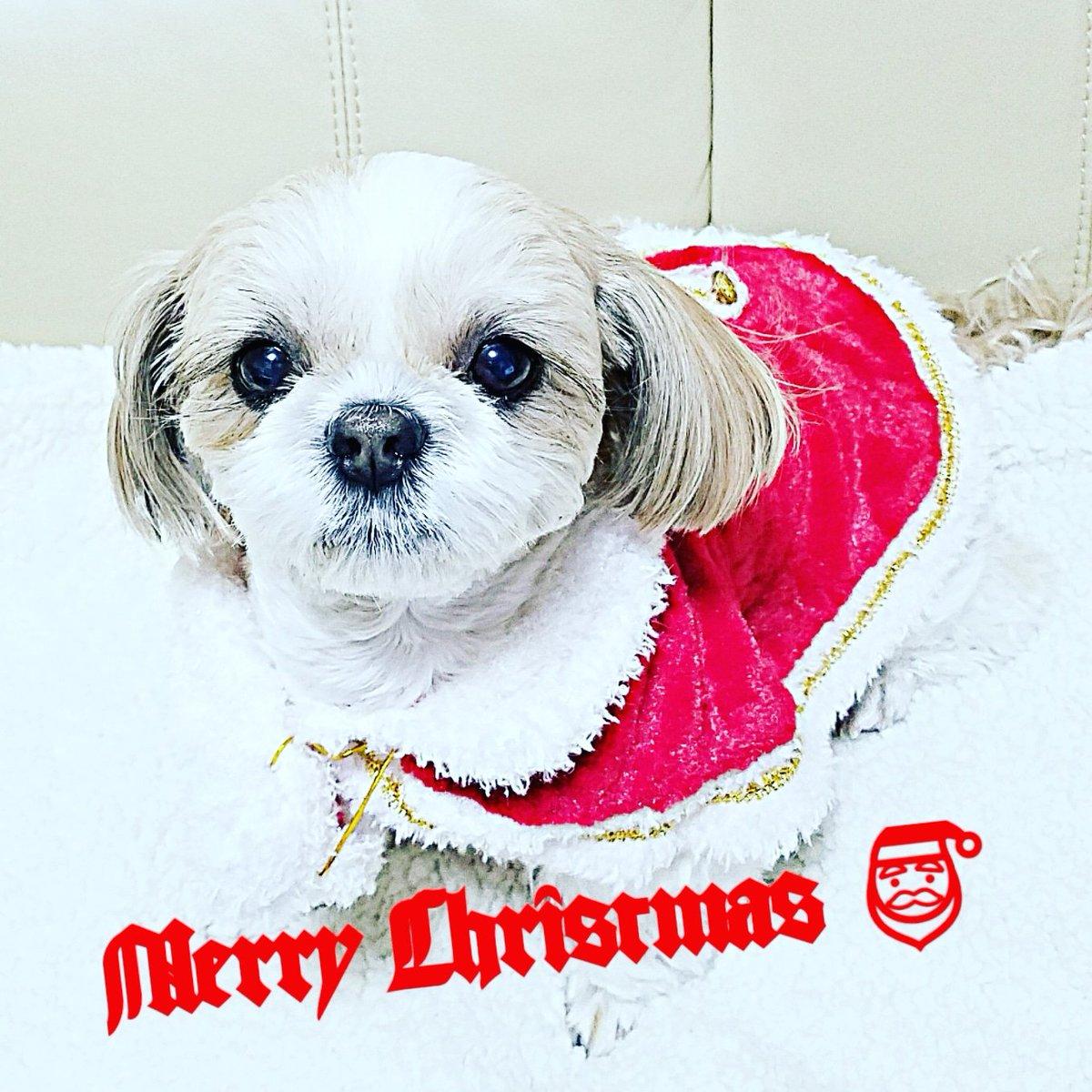 Merry Christmas all my friends   #犬 #犬好きな人と繋がりたい  #christmas #merrychristmas  #犬バカ部 #ふわもこ部 #鼻ぺちゃ犬 #シーズー #シーズー大好き部 pic.twitter.com/qWiQpkB9bt