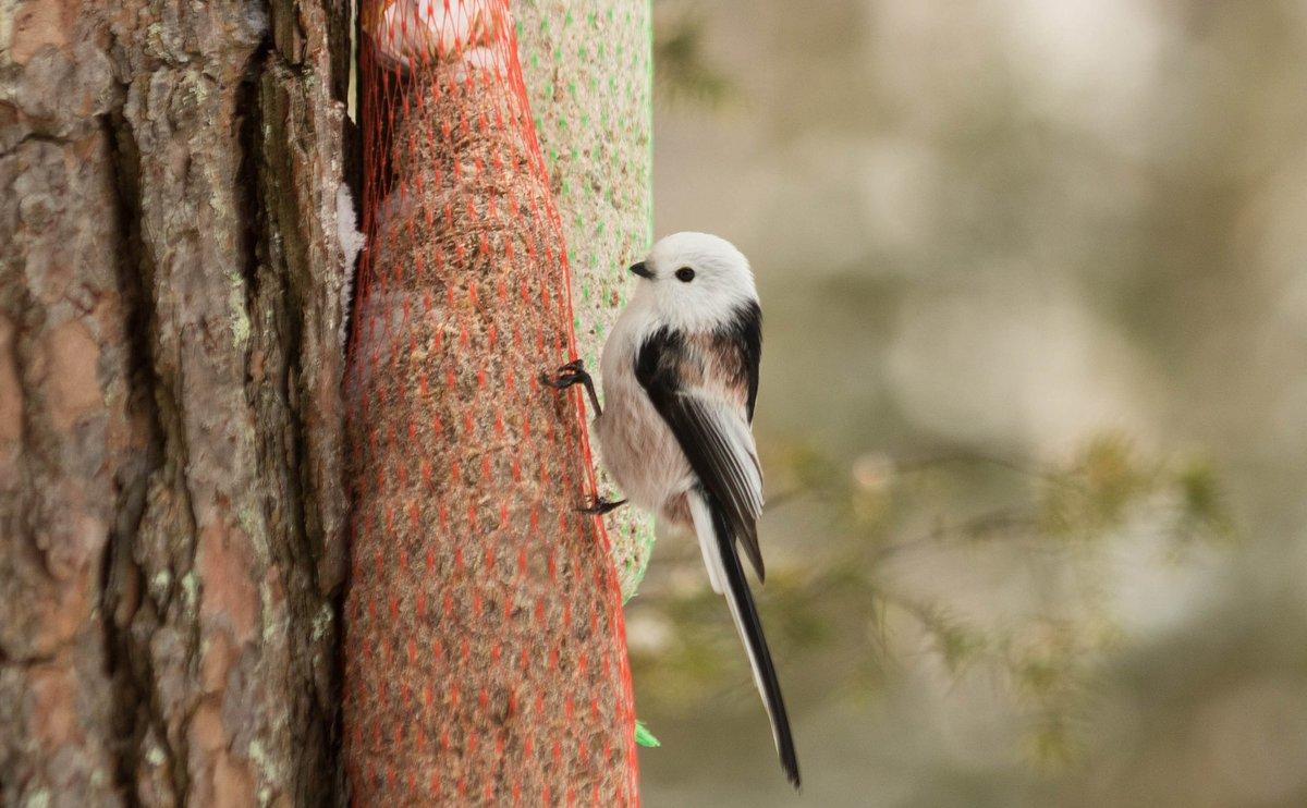 Hel Hath No Birdies Blog Post: And So This Is Christmas #birding #finland #gardenlist #hawkowl #greyheadedwoodpecker #northernlongtailedtit  https://helhathnobirdies.blogspot.com/2018/12/and-so-this-is-christmas.html?spref=tw…pic.twitter.com/ffP9GsbubE