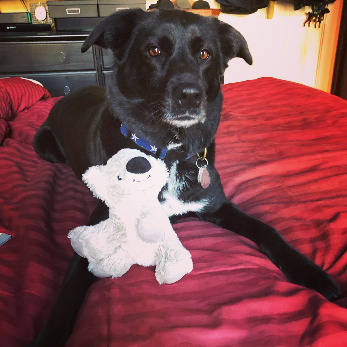 Lana @lanathelovepup says that Christmas is for kisses, treats, and toys! #merrychristmas #squeakytoy #blackdogsrule #rescuedogsofinstagram #bordercollie #borderlab