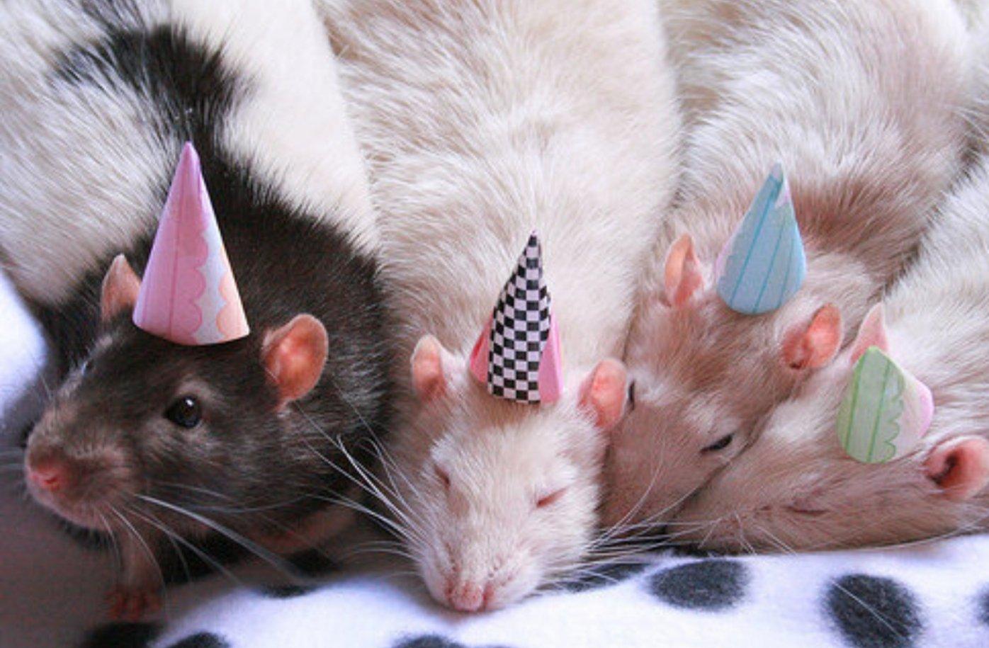 С днем рождения открытка с крысой