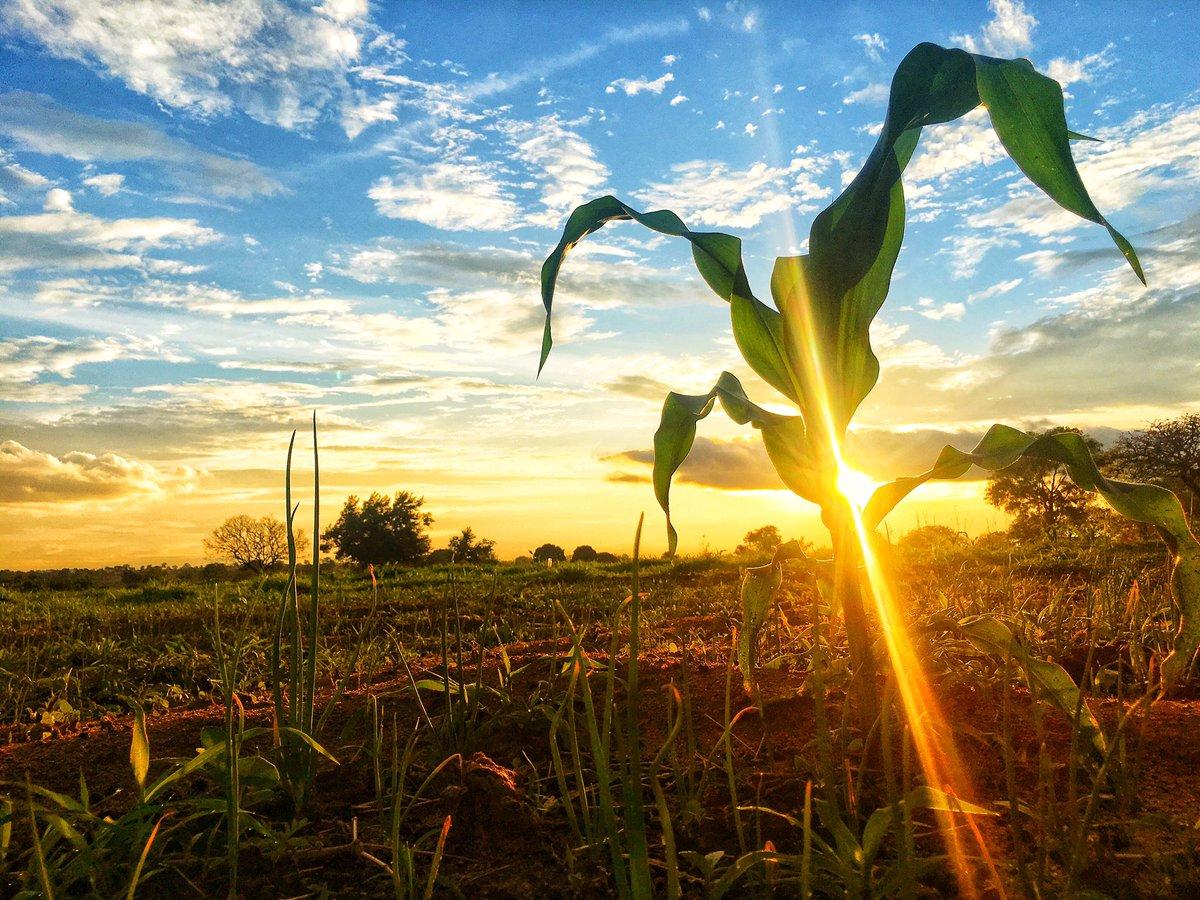Sekta ya #kilimo inachangia kiasi cha 20% ya bidhaa zinazosafirishwa nje ya nchi. #tanzania #kilimo #wakulima #corn #maize #food #foodcrops #crops #mazao