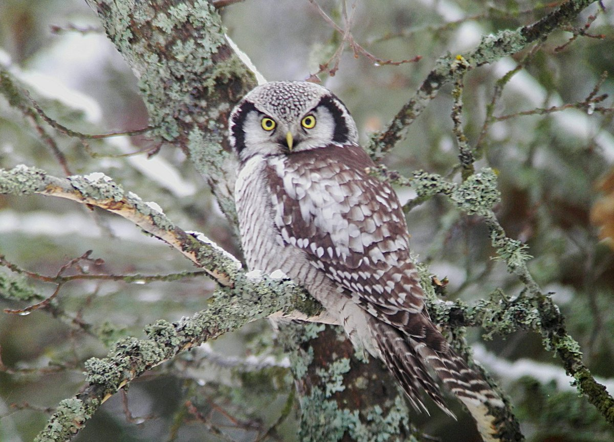 Hel Hath No Birdies Blog Post: And So This Is Christmas #birding #finland #gardenlist #hawkowl #greyheadedwoodpecker #northernlongtailedtit  https://helhathnobirdies.blogspot.com/2018/12/and-so-this-is-christmas.html?spref=tw…pic.twitter.com/TQKcIgruVD