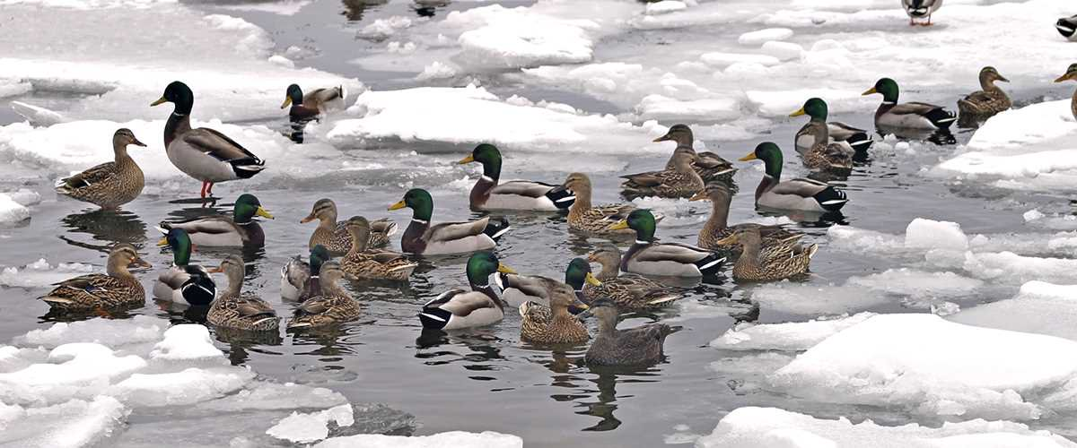 Ducks Unlimited's photo on The Ducks