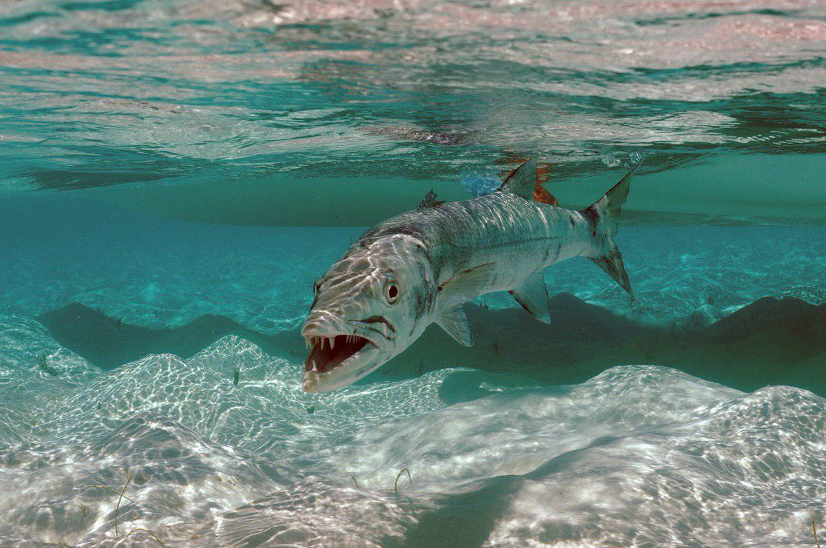 видите, картинки рыбы барракуда запись