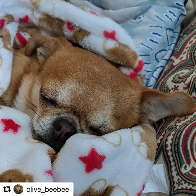 Must sleep.... . . #Repost @olive_beebee ・・・ Recovering from the holidays #olivethechug #olivesadventures #sleepypup #lazyday #tatertot #cuddles #snuggles #sweetdreams #mamasbestgirl #mamasspoiledbaby #mamasshadow #instachuggroup http://bit.ly/2V7QdtH pic.twitter.com/L2VYfRdDLP