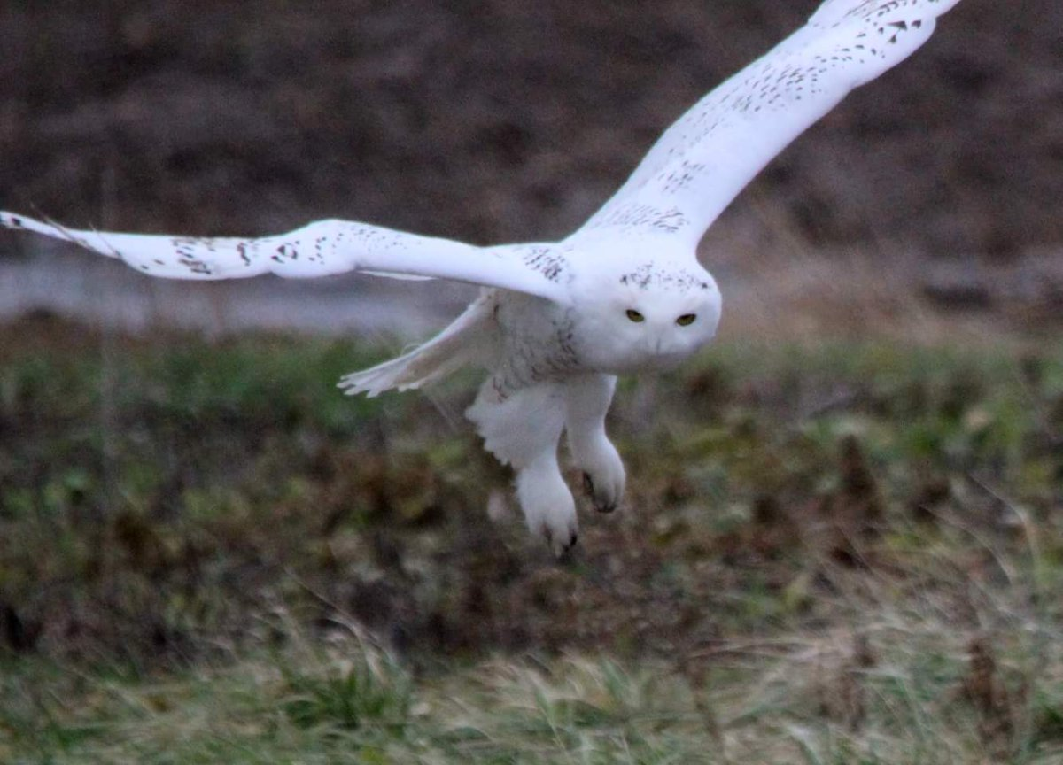 DEBRIEF: Sandhill Cranes & Snowy Owls in the Finger Lakes (podcast)