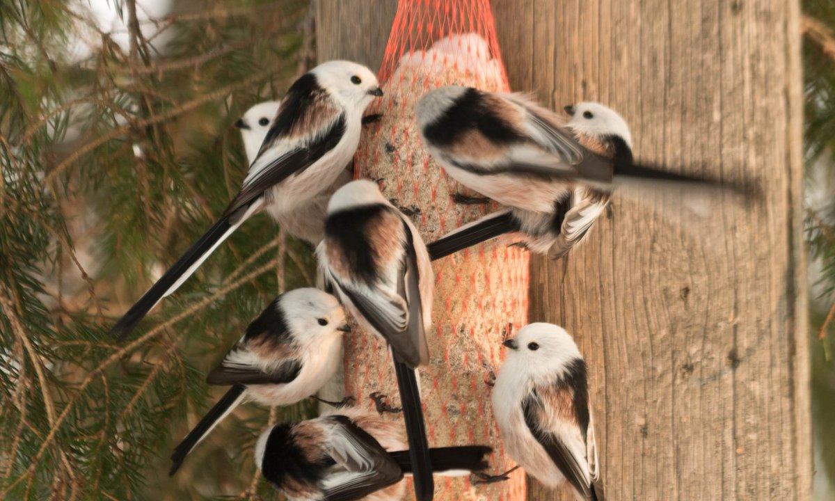 Hel Hath No Birdies Blog Post: And So This Is Christmas #birding #finland #gardenlist #hawkowl #greyheadedwoodpecker #northernlongtailedtit  https://helhathnobirdies.blogspot.com/2018/12/and-so-this-is-christmas.html?spref=tw…pic.twitter.com/qPZzOfgYrQ