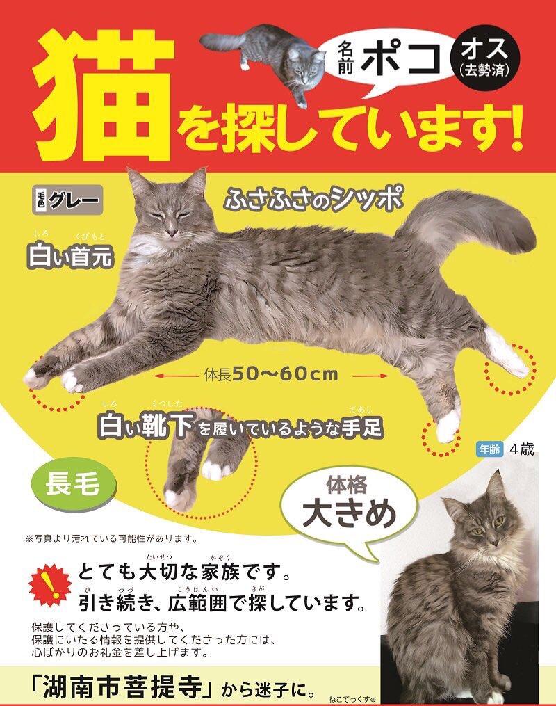 新しいチラシができました。滋賀県湖南市菩提寺〜たいせつな家族で今も諦めずに探しています。どうかお助けください #拡散希望 #迷子猫 #滋賀県迷子猫 #滋賀県湖南市 #メインクーン迷子猫 #長毛迷子猫 #メインクーン #湖南市菩提寺 #猫 #猫探してます
