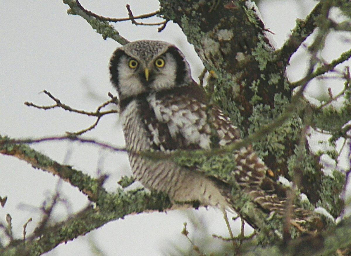 Hel Hath No Birdies Blog Post: And So This Is Christmas #birding #finland #gardenlist #hawkowl #greyheadedwoodpecker #northernlongtailedtit  https://helhathnobirdies.blogspot.com/2018/12/and-so-this-is-christmas.html?spref=tw…pic.twitter.com/I5RXnfVTr7