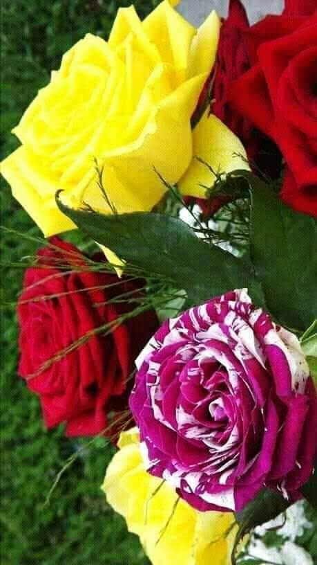 Marimar Sanche14 On Twitter At Rosirv41 Unas Bonitas Rosas Para Otra