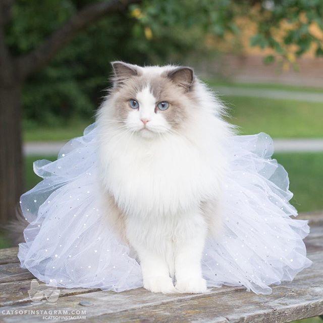 """From @aurorapurr: """"Aurora in her tutu for her humans wedding """" #catsofinstagram #twitterweek<br>http://pic.twitter.com/oXztNg8ZeP"""