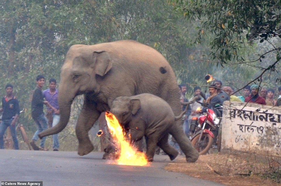 #India:  Villagers FIREBOMB mother #Elephant and her #Calf as #Deforestation drives them into the paths of humans .    https:// dailym.ai/2Mj0uPL  &nbsp;   <br>http://pic.twitter.com/71roxqCFR9