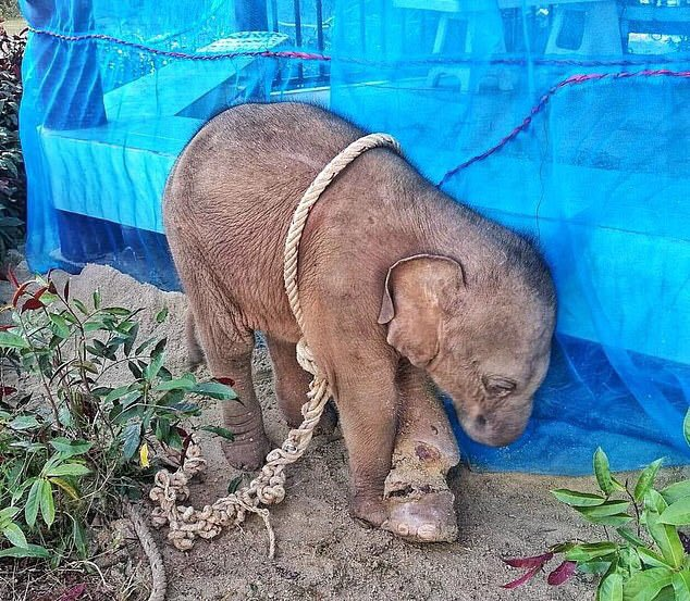 """So this is what hunting looks like when the hunters pack up their guns and return home.  """"Baby elephant dies from horrific wounds inflicted by hunter who tied rope to her ankle so tightly it cut down to the bone after she was captured in Thailand."""""""