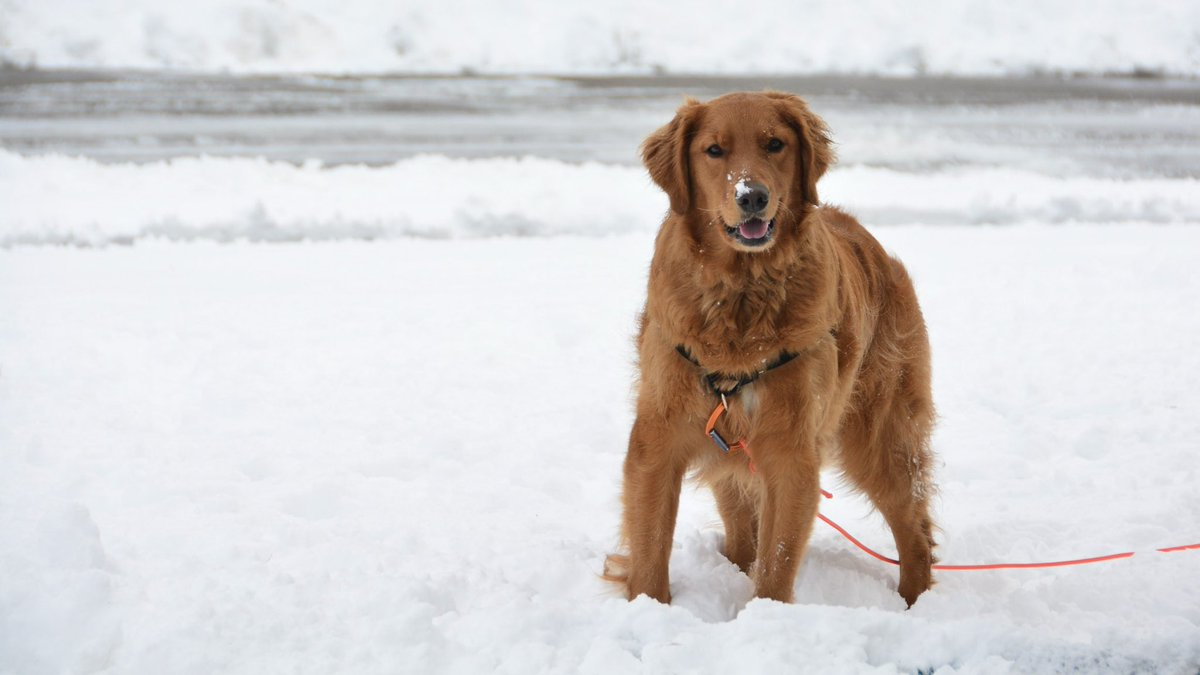 Fun in the snow!!!! Best family event ever. Retrieving, snowballs, tug of war...so much fun stuff to do in the snow. And it's way more fun to be able to share it with someone. My favorite winter ever! #goldenretriever #Snowpocalypse #snowdog<br>http://pic.twitter.com/6QdlnCP0RC