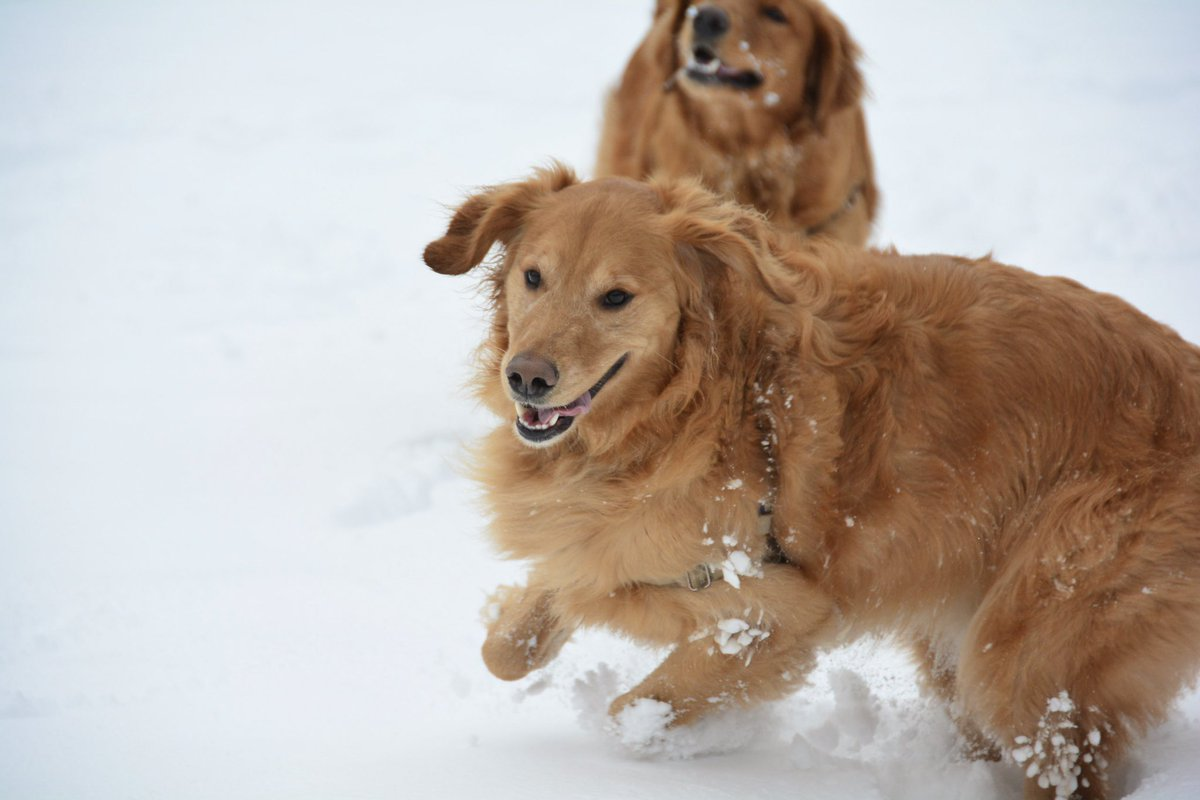 Day 2 of snowpocalypse: We had so much fun today having family time in the snow. I loved burying my head in it. Mommy threw snow balls for us to retrieve. Great memories! <br>http://pic.twitter.com/YPOOcMkCYJ