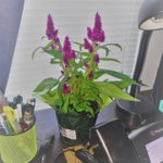 Image for the Tweet beginning: This flower is my desk