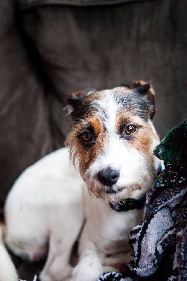 Another weekend save!!! Jonas came to ALIVE yesterday via @ChicagoRescues. He's about 2 years old, dog friendly, &amp; obviously knows how to work the camera.    #JackRussellTerrier #chicago<br>http://pic.twitter.com/ip3HQBUPsU