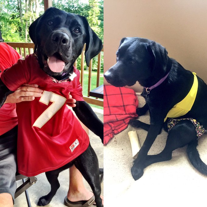 My girl Sioux doesn't dress up often, but when she does — she rocks it! Here are her two @FSUFootball jersey & a bikini (she has a sad face on the right because she wasn't quite ready to show off her summer bod) #NationalDressUpYourPetDay @news4buffalo Photo