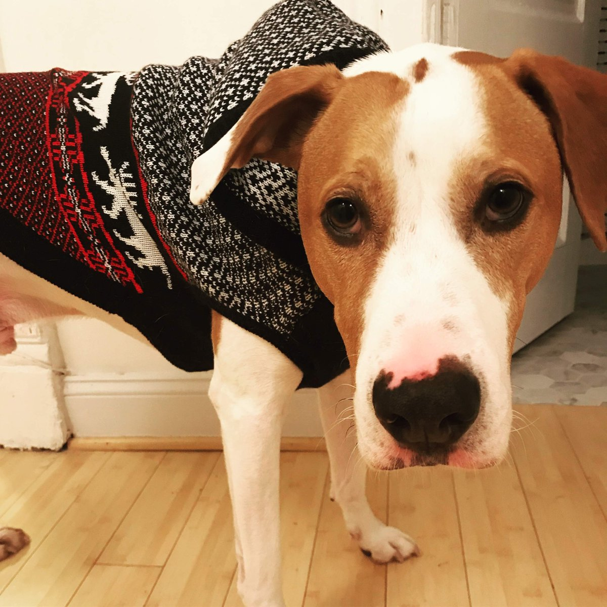 4b70733df this cutie is ramsey wearing his best hipster holiday sweater his owner is  and hes a