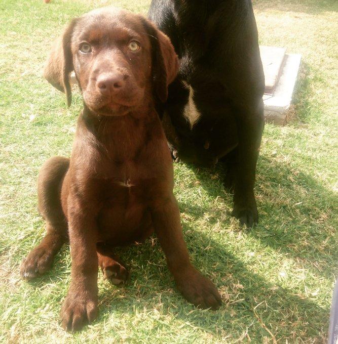 #MiMascotaEs un labrador chocolate de 3 meses de edad. Anubis 🐕 Foto