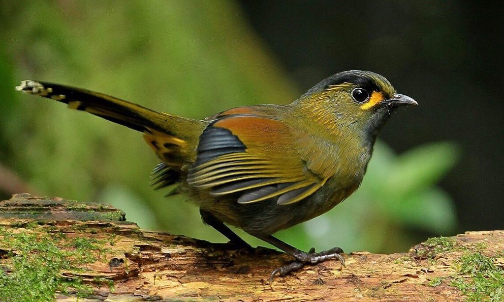 Steere's Liocichla. (leo-chick-la)  Only 62 days until #StPatricksDay. I'm getting the green tat polished.<br>http://pic.twitter.com/83ZbO8uY7S