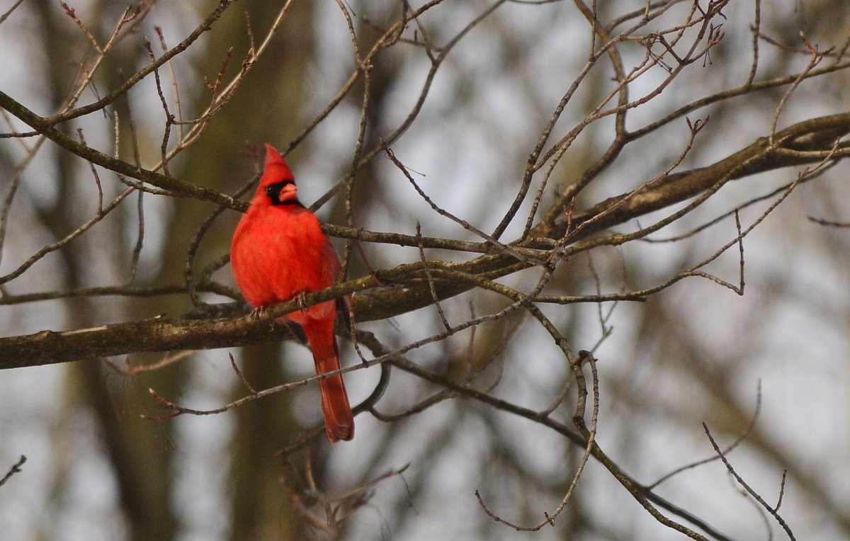 Cardinal enjoying some quiet, but cold weather