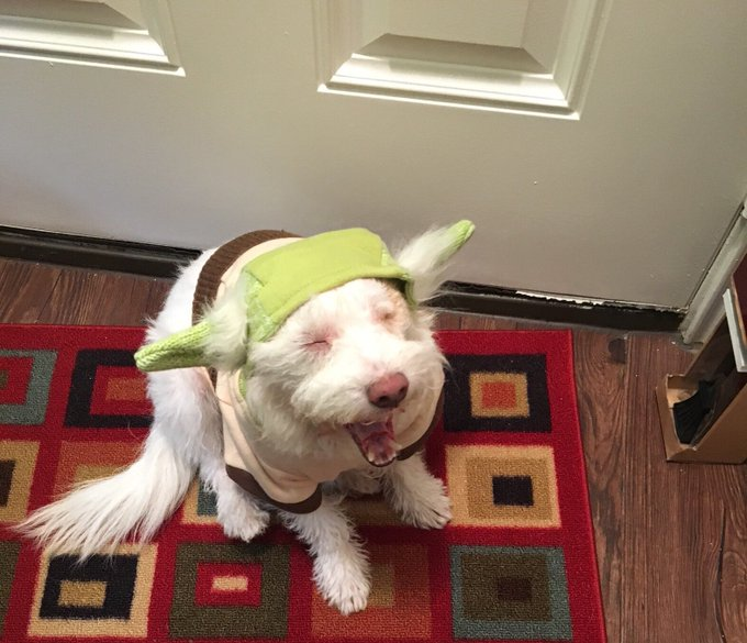 Today is #NationalDressUpYourPetDay so here is @realsarahpepper's dog Willie dressed up as Yoda! Photo