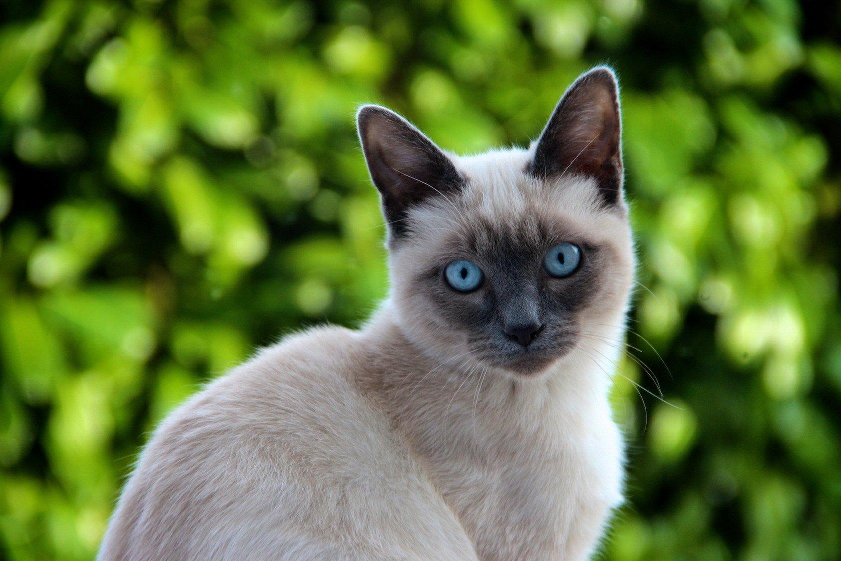 мамой картинки кошек красивые сиамские кошки пережить самый