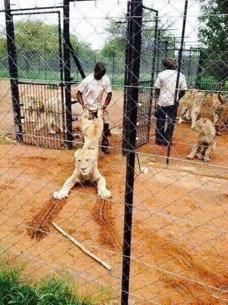 """Bred in captivity for the bullet... South African """"factory farms"""" are rearing THOUSANDS of lions for cheap, easy """"trophies"""" for hunters to kill :( Let's make 2019 the year that canned hunting is BANNED. Share if you agree! #bantrophyhunting #bancannedhunting"""