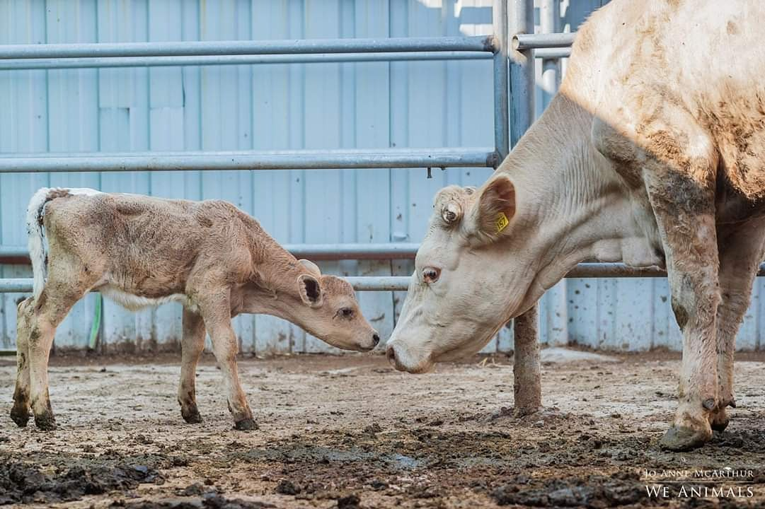 A precious moment shared between cow and calf—trapped within a system that fails to see them for who they truly are.  #LiveTransport #LiveExport #SomeoneNotSomething<br>http://pic.twitter.com/laGjnY4DHh