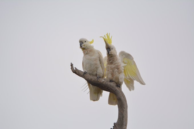 """""""What's going on over there?"""" """"I'm not sure, but I don't think I like the look of it!"""" Sulphur-crested cockatoos (Cacatua galerita) looking a little concerned at Woodlands Historic Park on the northwestern outskirts of metropolitan Melbourne #ownpic Photo"""