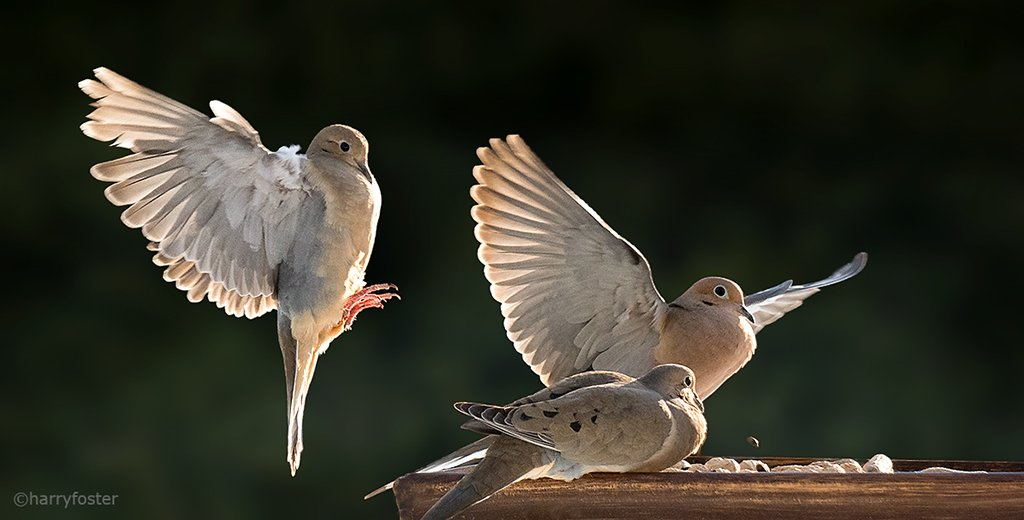 Come on guys, there&#39;s room for one more, I know it. #Doves #birding #BirdsofTwitter<br>http://pic.twitter.com/FU76j6uvrX