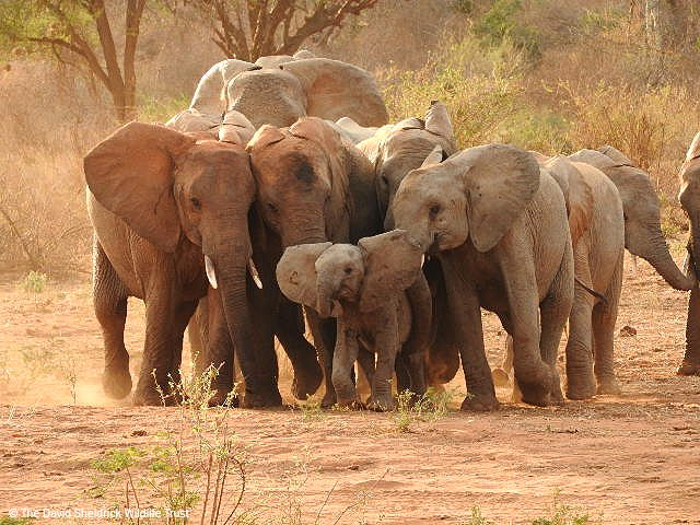 It&#39;s often said it takes a whole village to raise a child and this proverb is definitely true in #elephant society. Cousins, sisters and aunts will all pitch in when a calf is born, acting as nannies to help care for and raise the baby. <br>http://pic.twitter.com/JwRDfpTrmm