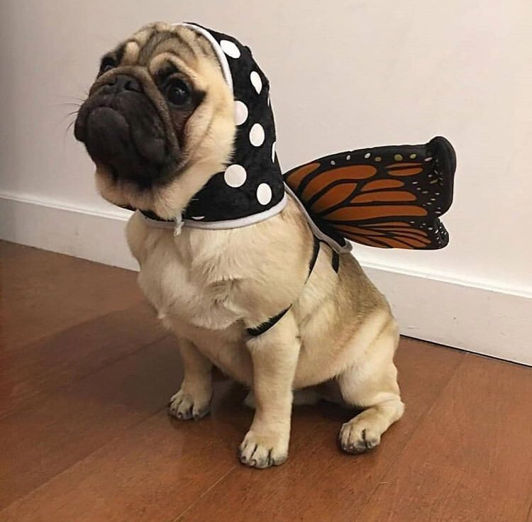 i wanna be a pugterfly