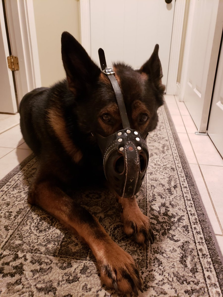K9 Viking preparing for battle.  Poor guy cut his back foot during a search warrant.  By the look on his face he is not happy about having it cleaned and bandaged.#bigbaby #BluePawsMatter #livepd #warwickpdri #LivePDNation #LivePDBingo #PartnersInCrime #k9soflivepd<br>http://pic.twitter.com/7tpGhV5b3J