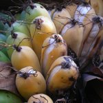 #Crop wild relatives, the 'wild cousins', are extremely useful. Many contain useful traits, such as pest and disease resistance and tolerance to drought and salinity, that can be used to improve food crops.  🍌The Madagascar #banana is one such example: https://t.co/DZGCG2dgQY